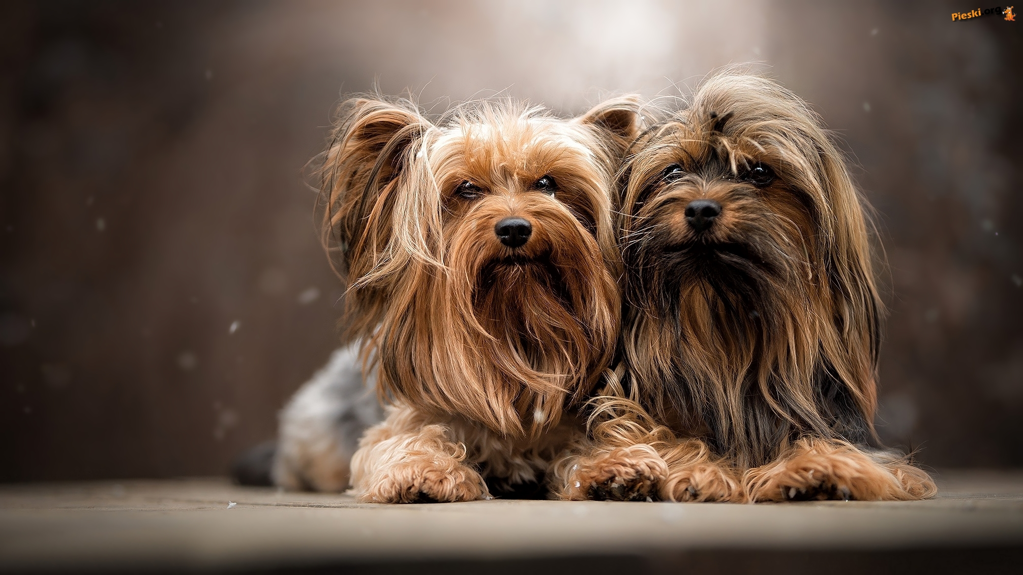 Dwa, Psy, Yorkshire terrier